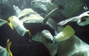 loggerhead-turtle-_2477995k